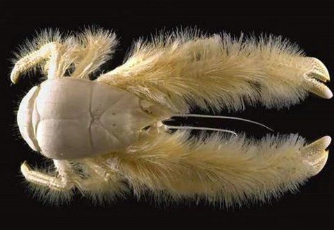 Truly Hairy Crab